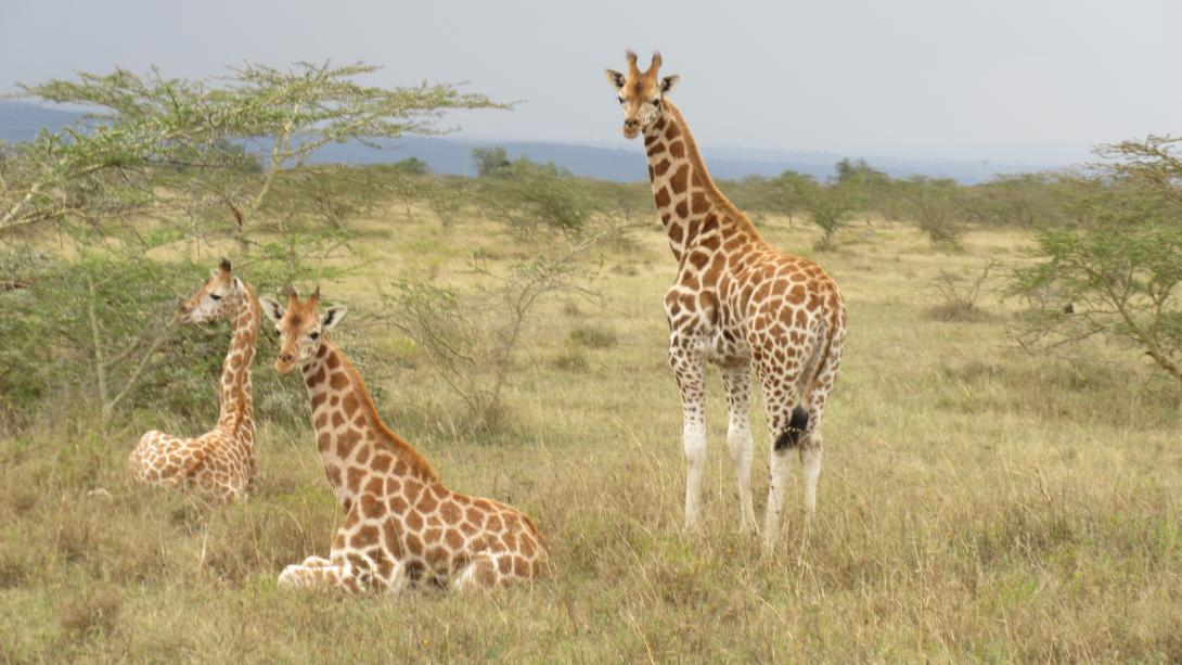 Projects Abroad volunteers spot the Rothschild giraffe on their Conservation Project in Kenya